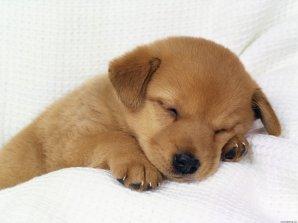 sleeping_puppy-1384