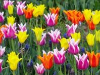 tulipanes-1600-x-1200